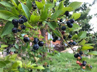 里山日記・・・青々とした庭の果実:画像