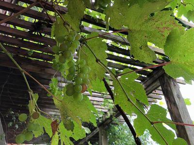 里山日記・・・青々とした庭の実:画像