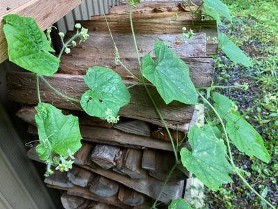里山日記・・・手ごわいい外来種の雑草たち:画像