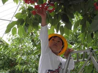 ☆Cherry picking (association of sightseeing in Tendo-shi product recommendation orchard) ☆: Image