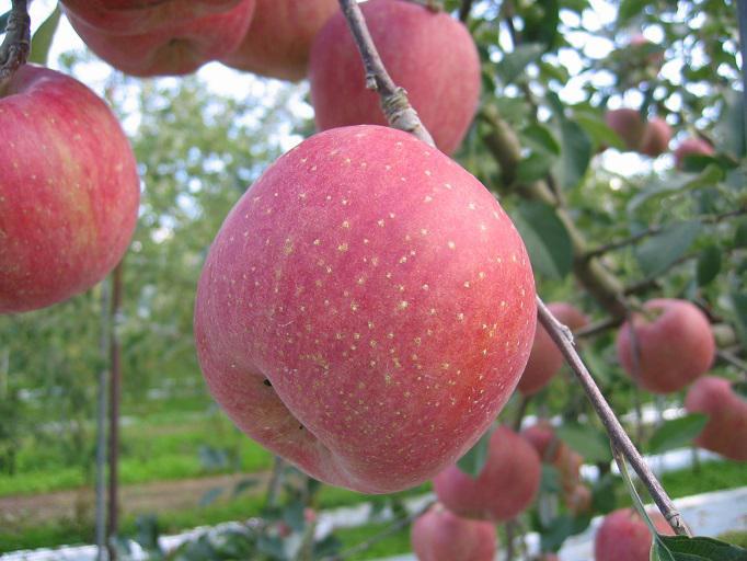 りんご  5kg 1箱(16玉〜18玉) 3,500円:画像