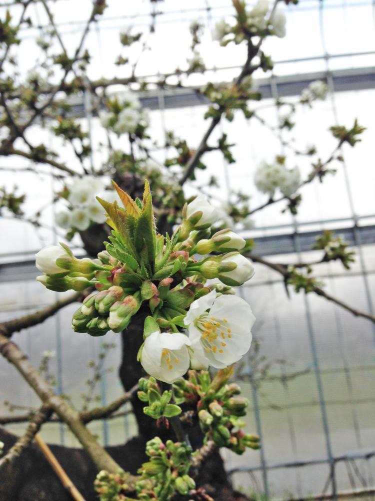 さくらんぼの花なんです♪:画像