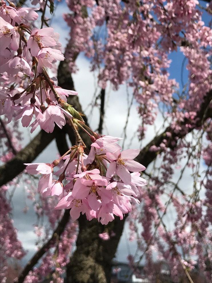 天童の桜開花状況★