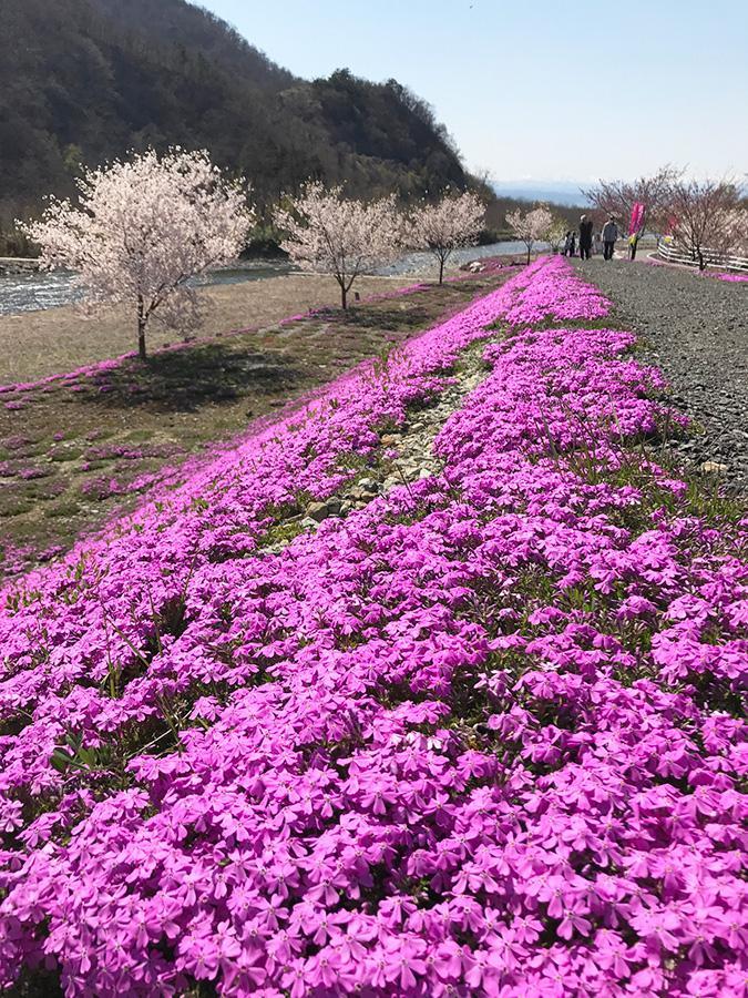 【桜の他に、今が見頃のもの1】立谷川の芝桜