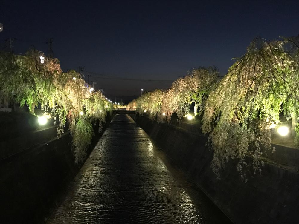 倉津川のしだれ桜ライトアップ