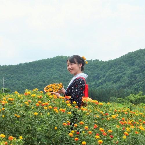 「おもひでぽろぽろ」を体験!朝摘み紅花体験ツアー!