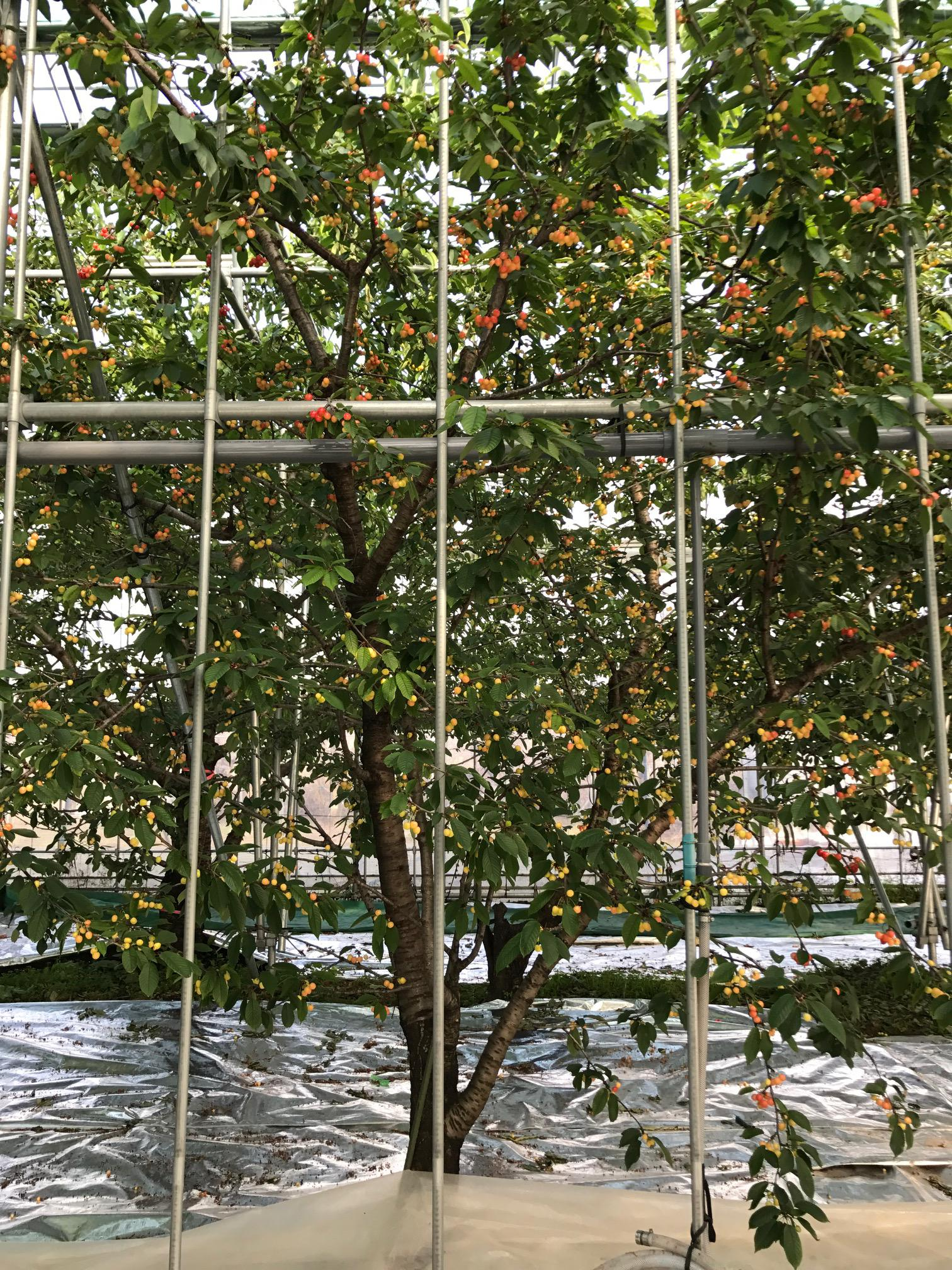 Greenhouse Cherry picking Friday, April 20 opening! <accommodation plan>
