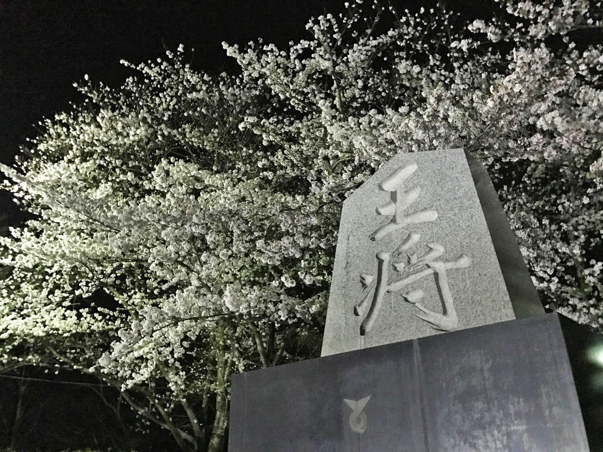 天童温泉の桜情報♪♪