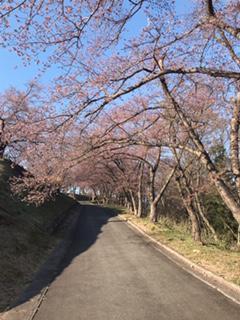 桜開花情報♪