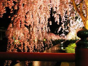 倉津川のしだれ桜!:画像