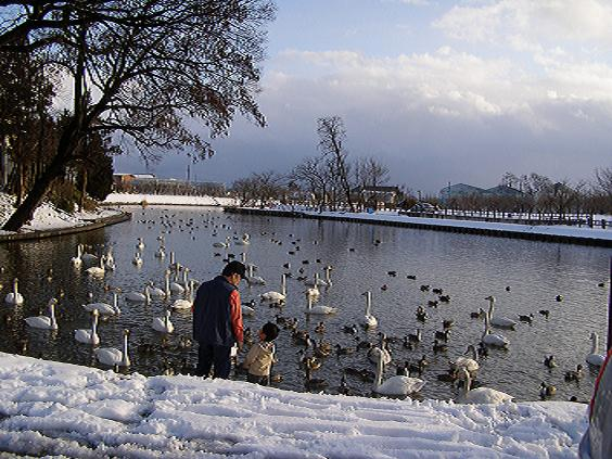 天童の観光スポット寺津沼の白鳥:画像