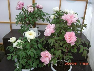 ◆『動画』冬咲きぼたんまつり 売れてます。たこ焼き /:/:/