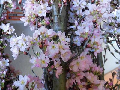◆桜が満開です。◆
