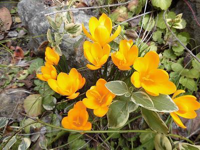 ◆去年より10日も早い開花◆