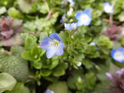 ◆オオイヌノフグリ 畑に咲き誇っています。◆
