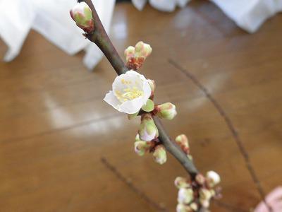 ◆剪定した梅の枝に  ◆