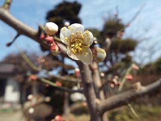 ◆庭の南高梅咲き始めました。◆