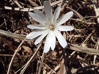 ◆里山散策でキクザキイチゲ咲いてました。◆