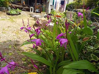 ◆庭の紫蘭満開です。◆