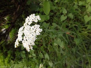 ◆ノコギリソウも咲きました。◆