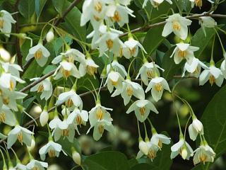 ◆エゴノキ 花が満開です。◆
