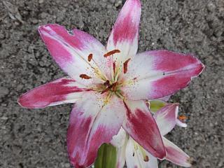 ◆裏庭のゆりも咲き始めました。◆