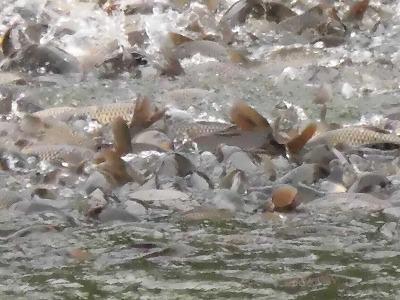 ◆養鯉所の鯉が元気です。◆