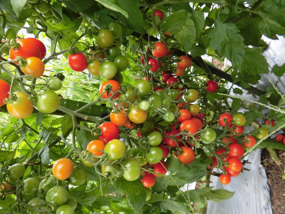 ◆夏野菜最盛期です。◆