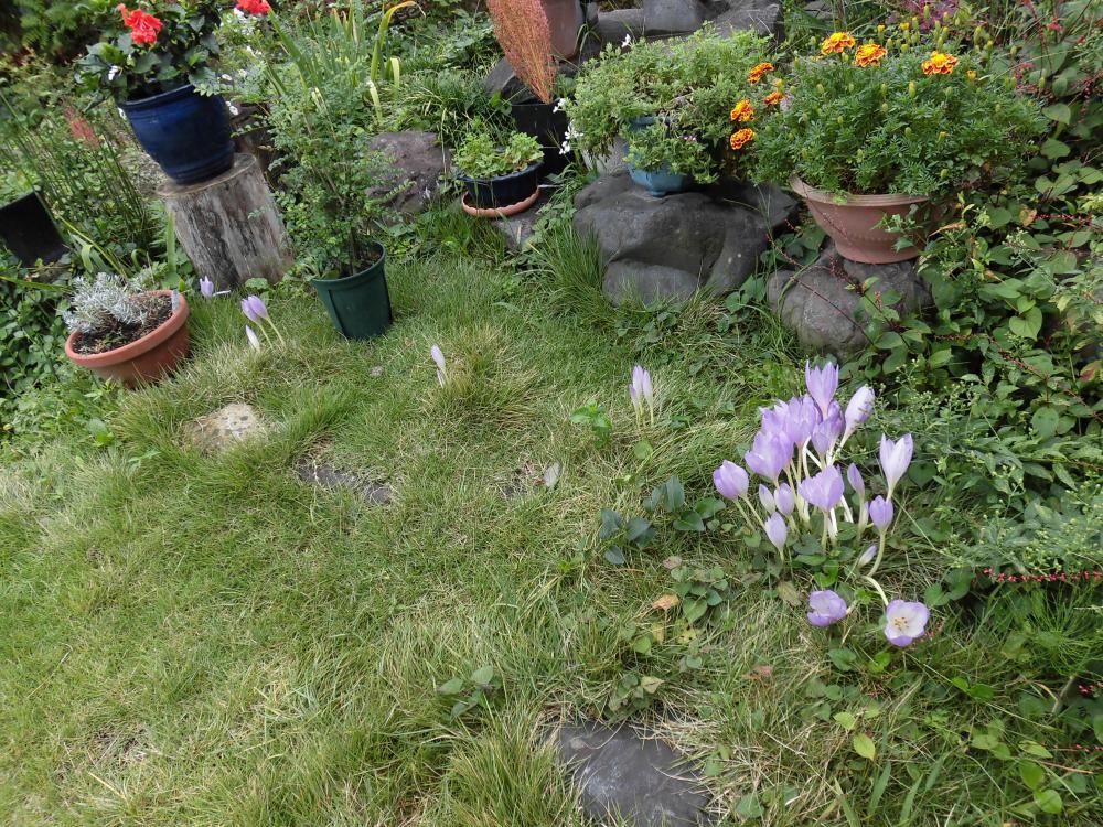 ◆コルチカム咲き始めました。◆