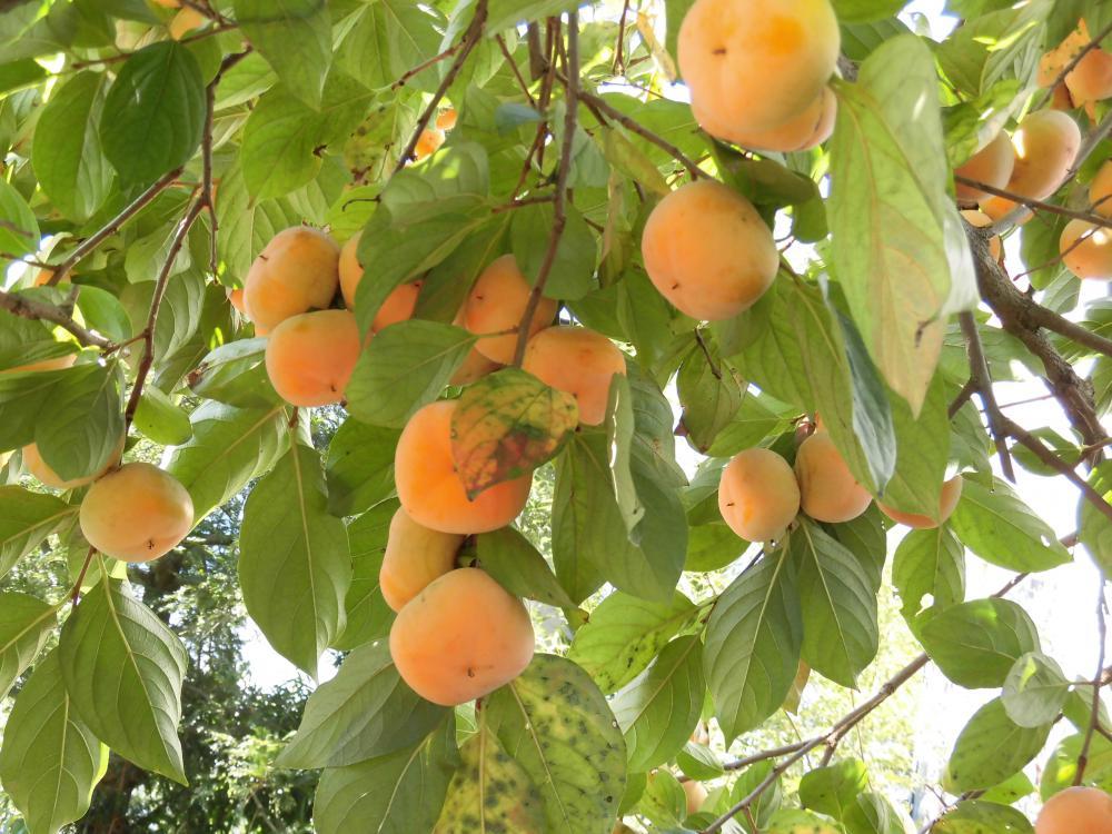 ◆初柿収穫です。◆
