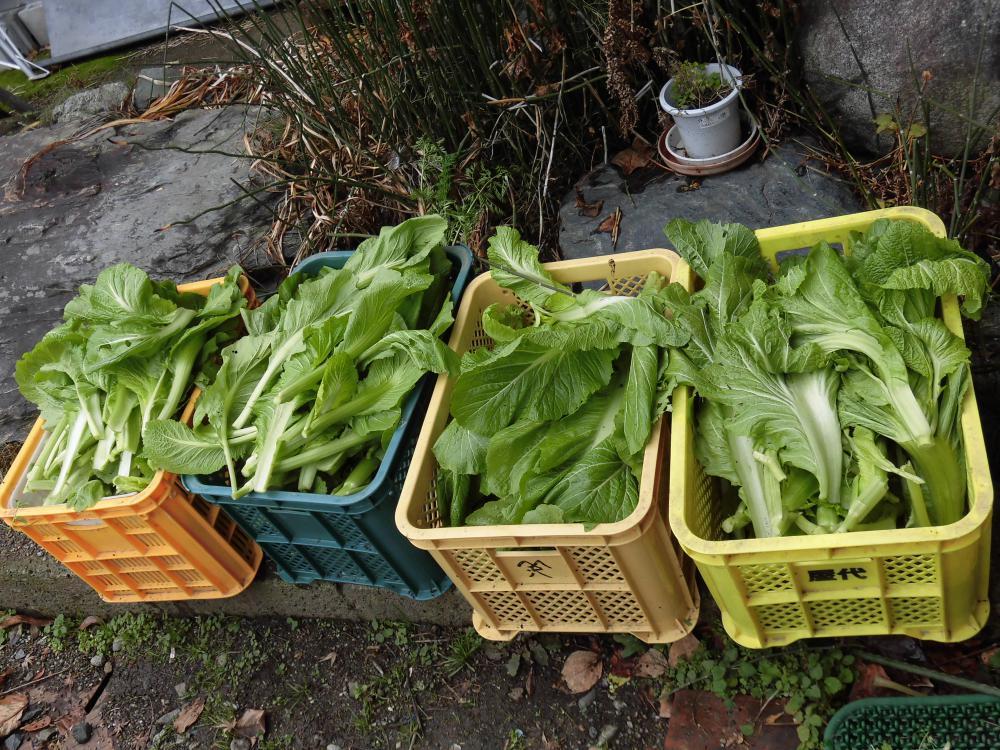 ◆山形青菜(せいさい)収穫です。◆