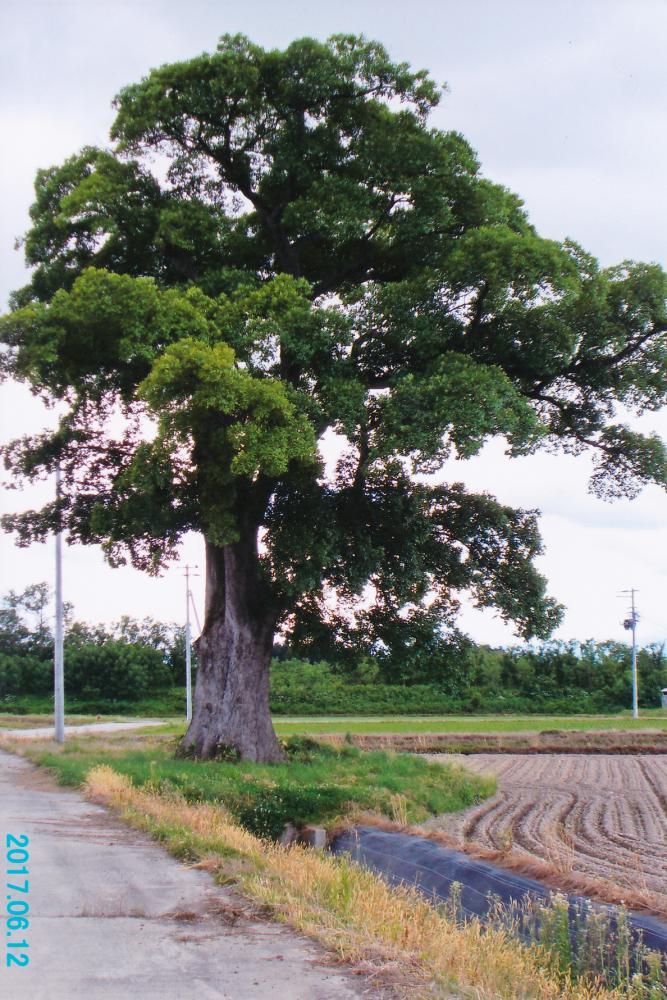 【時庭の巨木】:画像