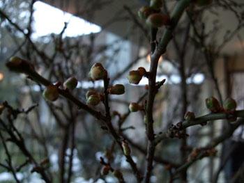 梅は咲いたか・・・:画像