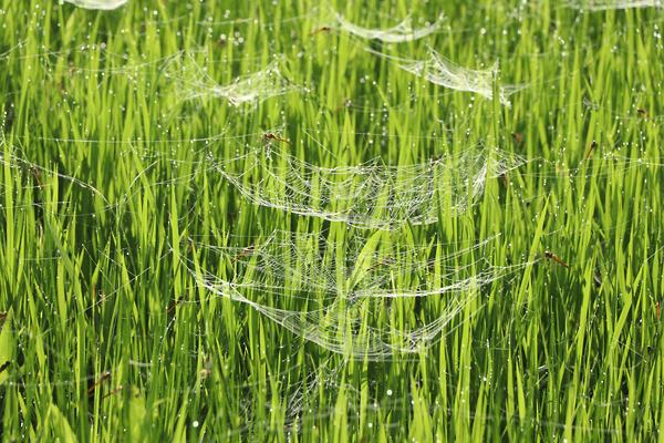 田んぼの赤とんぼと蜘蛛の巣