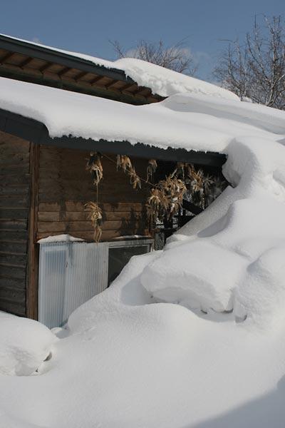 今朝の鶏小屋