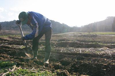 山ウド畑の土かけ