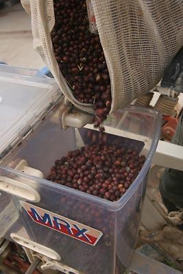 紅大豆の種まき