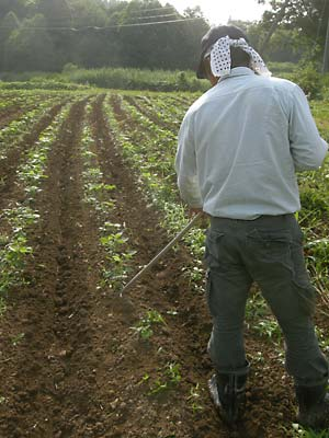 朝仕事の秘伝枝豆畑