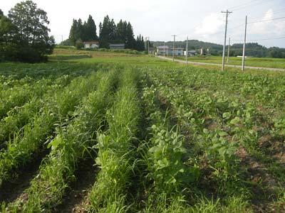 毛豆枝豆畑の草刈り