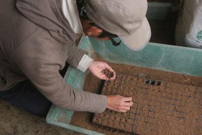 茶豆の種まき