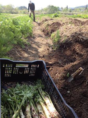 山ウド収穫開始!:画像