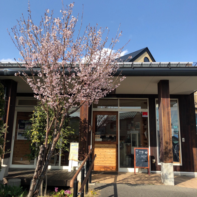 桜…満開です!:画像