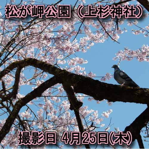 桜の開花情報【米沢市】松が岬公園(上杉神社)