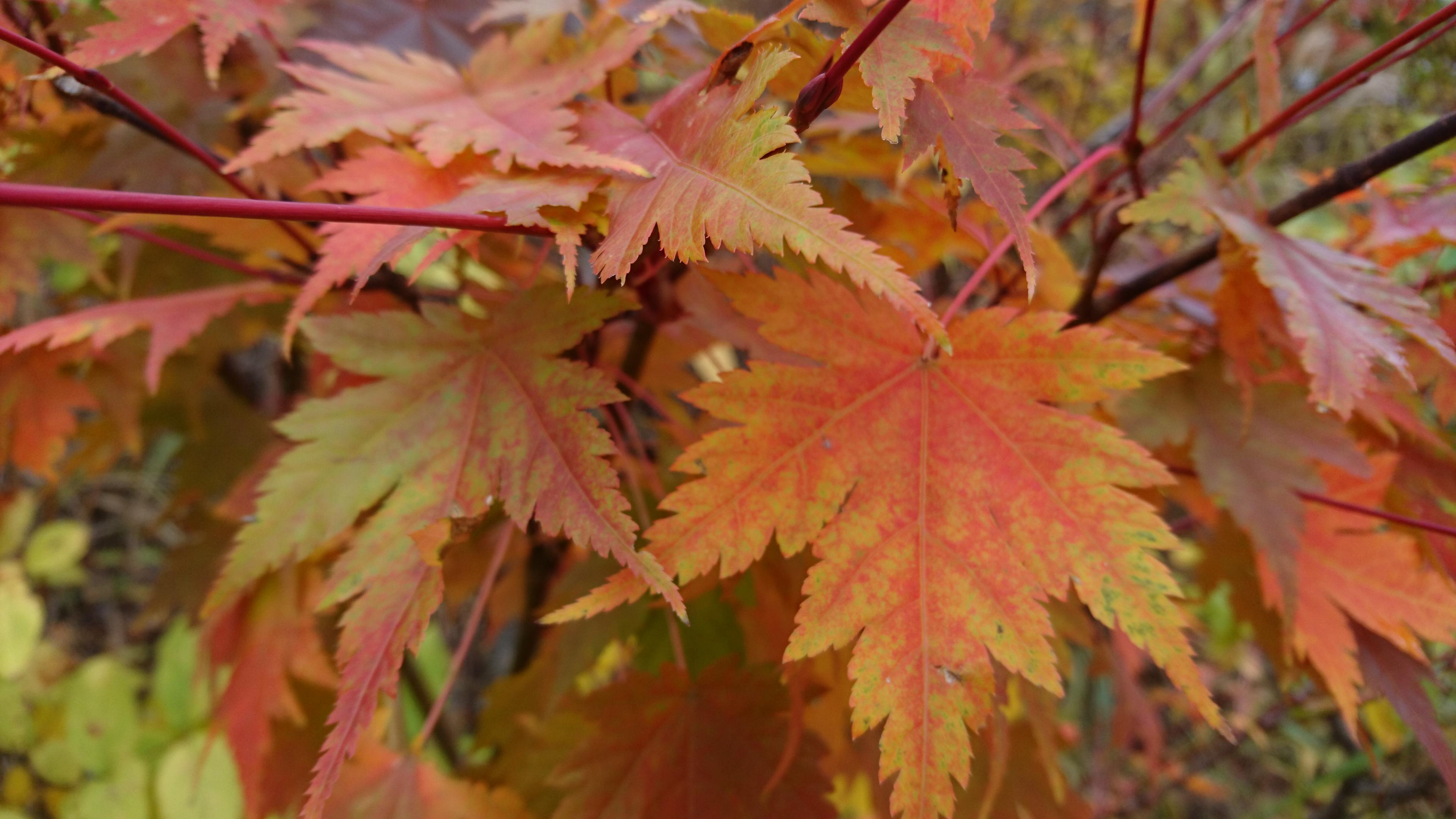 Colored leaves information in Tengendai Kogen, the city!