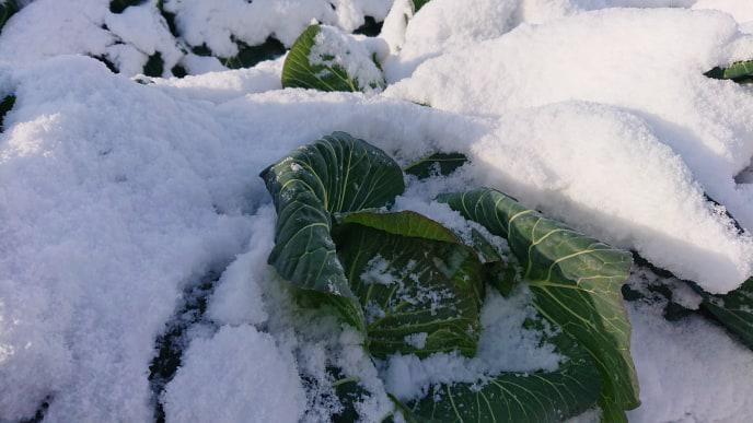 【白鷹町】ほっこり農園「雪の下キャベツ収穫体験」中止のお知らせ