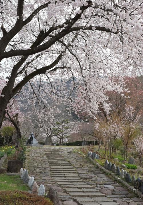 散策路もきれいな桜並木
