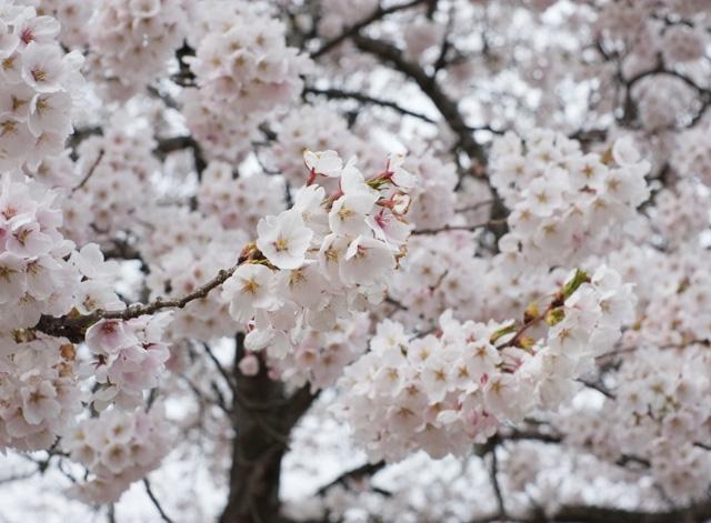 桜は見頃です