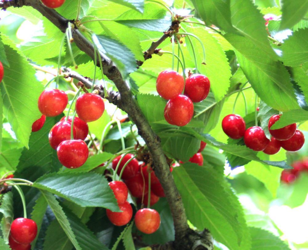 NO4 東根産…赤い宝石/サクランボ収穫:画像
