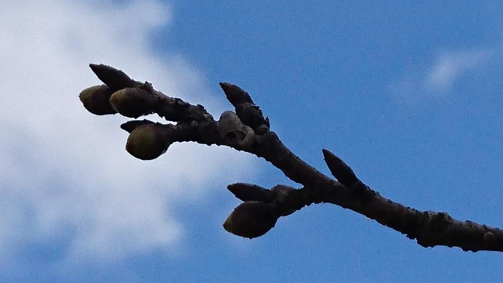 最上川桜づつみの標本木の開花状況をお知らせします