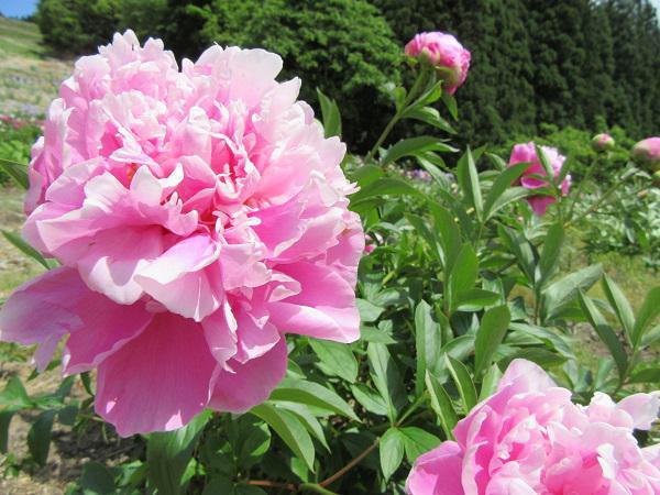 Onogawa Komachi Flower Park is Now Open!